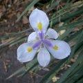 image african-iris-fortnight-lily-or-morea-iris-dietes-iridioides-iridaceae-jpg