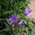image bats-in-the-belfry-nettle-leaved-bellflower-campanula-trachelium-jpg