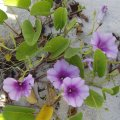 image beach-morning-glory-ipomoea-pes-caprae-subsp-brasiliensis-1-jpg