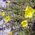 image beach-primrose-oenothera-drummondii-1-jpg