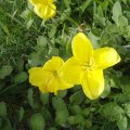 image beach-primrose-oenothera-drummondii-3-jpg