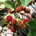 image blackberries-1-jpg