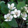 image blackberry-rubus-fruticosus-aggregate-flowers-tas-jpg