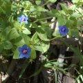image blue-pimpernel-1-s-aust-jpg
