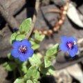 image blue-pimpernel-2-jpg