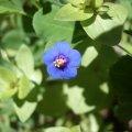 image blue-pimpernel-3-jpg