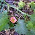 image bristly-mallow-modiola-caroliniana-jpg
