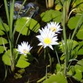image cape-waterlily-nymphaea-caerulea-1-jpg