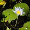 image cape-waterlily-nymphaea-caerulea-4-jpg