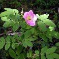 image alberta-rose-or-prickly-wild-rose-bc-jpg