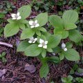 image dwarf-dogwood-bunchberry-or-pigeonberry-1-bc-jpg