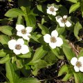 image dwarf-dogwood-bunchberry-or-pigeonberry-2-bc-jpg