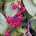 image elderberries-not-edible-mt-st-helens-wa-jpg