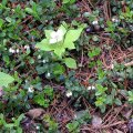 image lingonberry-flowers-2-bc-jpg