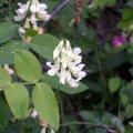 image many-flower-beardtongue-penstemon-multiflorus-bc-jpg