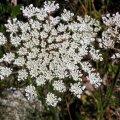image queen-annes-lace-daucus-carota-1-mt-st-helens-wa-jpg