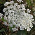 Weeds & Wildflowers - British Columbia & Washington State