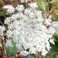 image queen-annes-lace-daucus-carota-3-mt-st-helens-wa-jpg