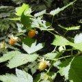 image salmonberry-rubus-spectabilis-northwesttrek-wa-jpg