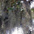 image spanish-moss-louisiana-jpg