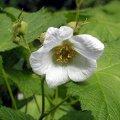 image thimbleberry-flower-bc-jpg
