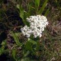 image yarrow-achillea-millefolium-bc-jpg