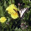 image butterfly-on-balsamroot-balsamorhiza-sagittata-close-up-jpg