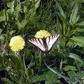 image butterfly-on-balsamroot-moose-lake-bc-jpg