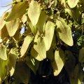 image wildberry-tree-new-orleans-jpg